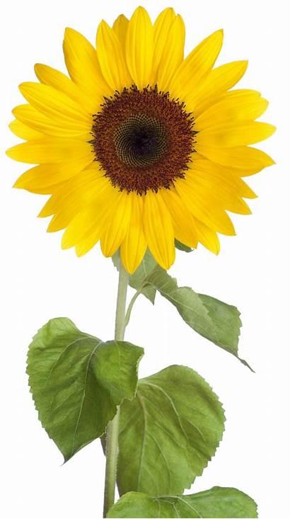 Sunflower Clip Transparent Clipart Sunflowers Icon Jan