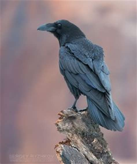 Crow Vs Raven  Infographics  Pinterest  Crows, Crows Ravens And Raven