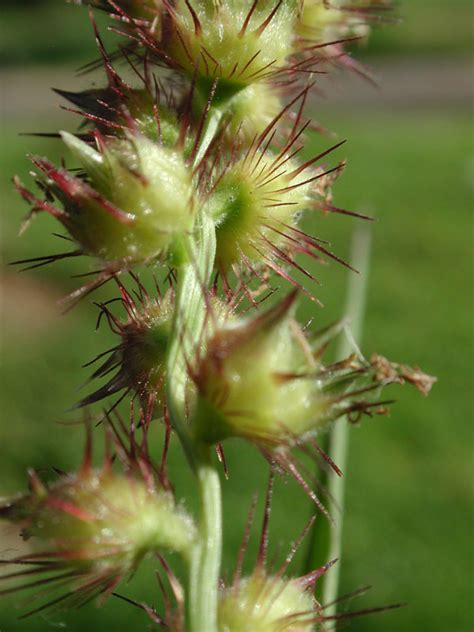http://www.conabio.gob.mx/malezasdemexico/poaceae/cenchrus-echinatus/fichas/pagina1.htm