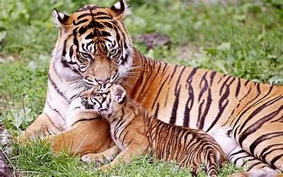 Tiger Wild Animal Cub Wallpapers Animals Seating