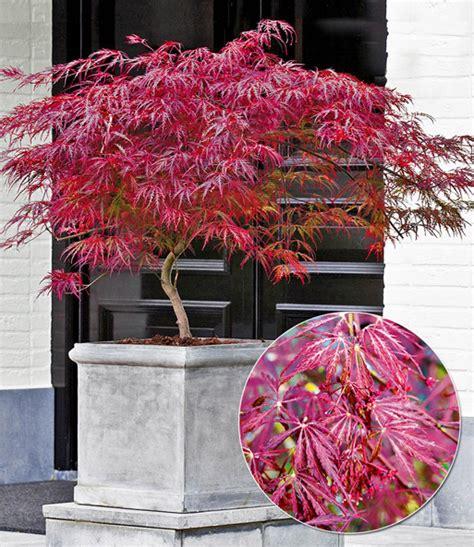 japanischer ahorn topf japanischer ahorn burgund bei baldur garten f 228 cherahorn