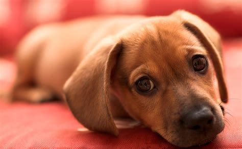 What you need to know before buying a puppy   Dr. Marty Becker