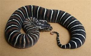 Scaleless Snakes: A Brief History - sSNAKESs : Reptile Forum