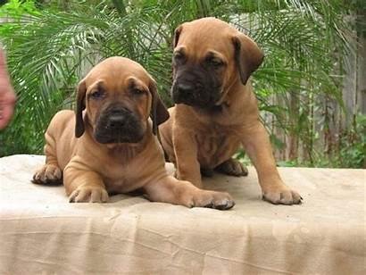 Brazilian Mastiff Puppies Petsidi