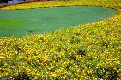 planting flowers in lantana plant and flower hgtv