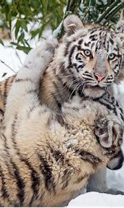 White Siberian Tiger Cubs In Snow | Just Wallpapers