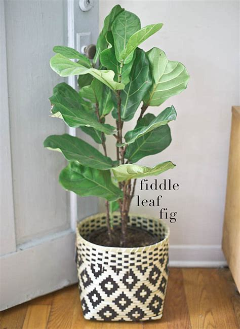 best indoor trees fiddle leaf fig in a woven pot decoist