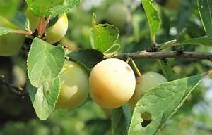 Hochstamm Stachelbeeren Schneiden : 17 b sta id er om mirabellenbaum p pinterest ~ Lizthompson.info Haus und Dekorationen