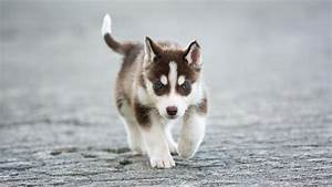 What are some facts about Miniature Siberian Husky puppies ...