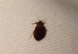 household pests archives what39s that bug With bed bugs in florida