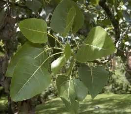 Eastern Cottonwood Tree Leaf