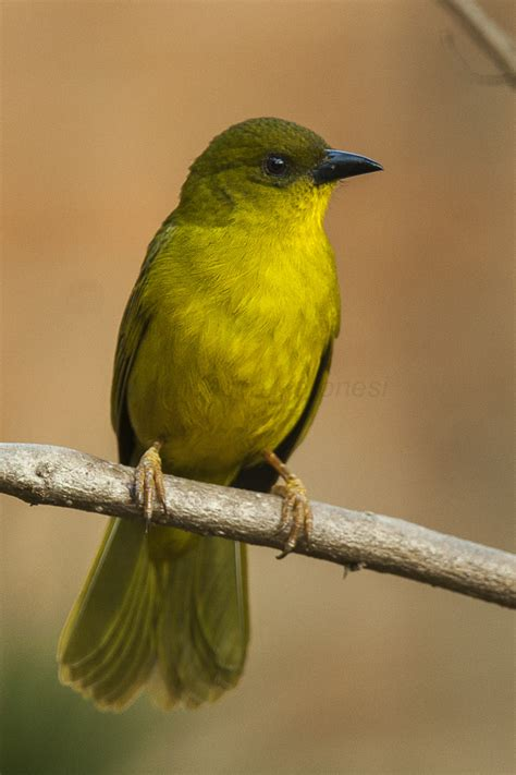 Olivegreen tanager Wikipedia