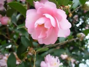Common Christmas Tree Types by Camellias How To Grow And Care For Camellia Japonica And