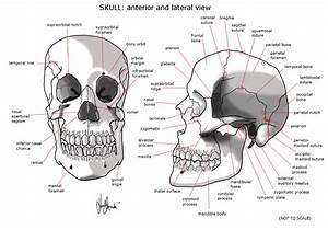 Pin Skull-bones-anatomy-coloring-pages on Pinterest