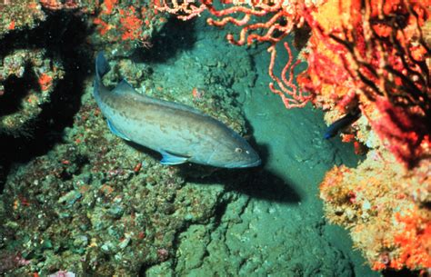 grouper gag noaa fish mycteroperca microlepis species overfishing overfished fisheries gulf mexico wikipedia credit rebuild lows continue numbers potts boundaries