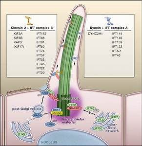 The Vertebrate Primary Cilium In Development  Homeostasis  And Disease  Cell