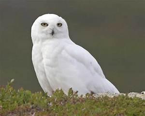 Snowy Owl | Audubon Field Guide