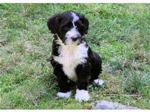 Portuguese Water Dog Puppies For Adoption