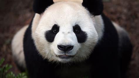 panda animal eyes china animals wild bears 1342 zoo 2k nature