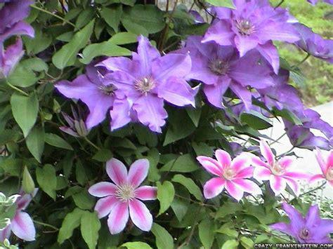 vine with purple flowers flowers wallpapers daertube