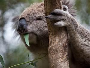 Koalas  Nature And Wildlife  Phillip Island  Victoria