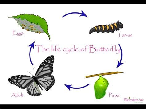 butterfly life cycle drawing  getdrawingscom