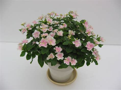 what plants are annuals plants flowers 187 madagascar periwinkle