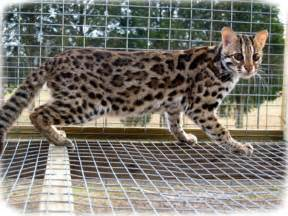 asian leopard cat asian cat information health pictures pet paw
