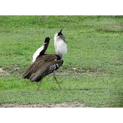 File:Kori bustard bird - Ngorongoro-1.jpg Wikimedia Commons
