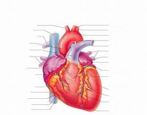 External Anatomy Of The Heart 1