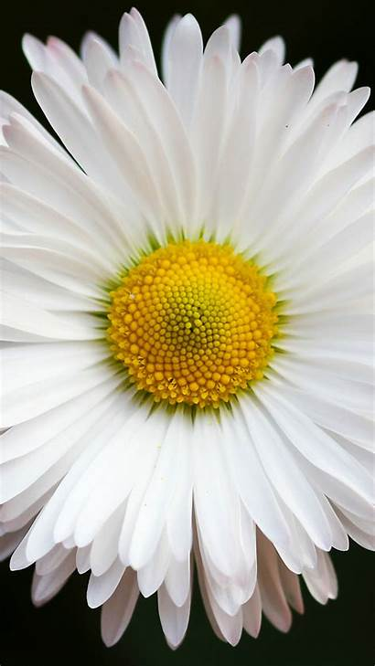 Daisy Iphone Brilliant Wallpapers