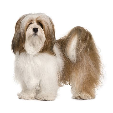 lhasa apso breed shedding lhasa apso see description and pictures of this breed