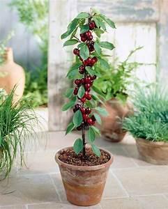 Planter Un Cerisier : mini cerisier 39 sylvia 39 willemse ~ Melissatoandfro.com Idées de Décoration