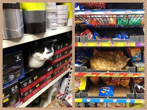 Veikalu kaķi, kas atpūšas plauktos un vitrīnās - Spoki