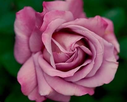 Rose Pink Normal