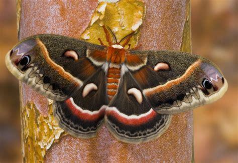 characteristics  giant silkworm moths  royal moths