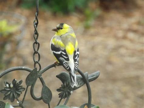 attract finches   backyard backyard birds