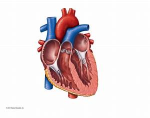 Please Label The Following Heart Anatomy