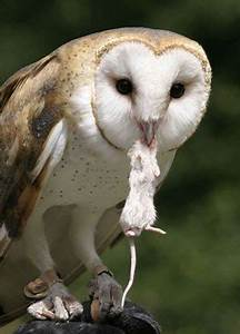 world best collections of photos and wallpapers: Barn Owls ...