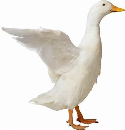 Duck Pngimg Web
