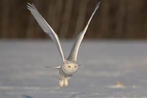 Snowy Owl In Flight - Author Unknown 4k Ultra HD Wallpaper ...