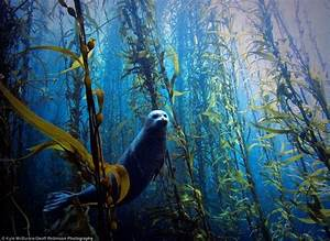 Harbour seal navigating the kelp forest | Seal | Pinterest