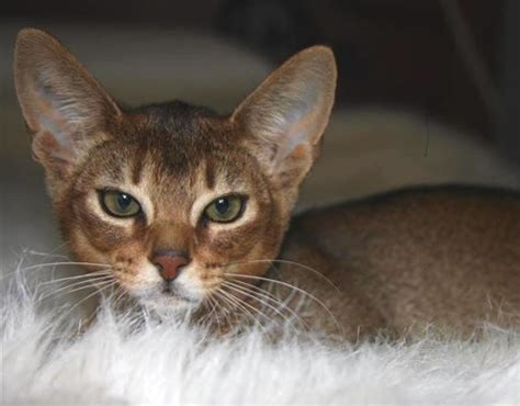 40 Super Cute Abyssinian Cat Pictures