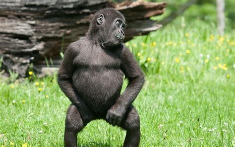 mono divertido foto bailando fondos de pantalla gratis