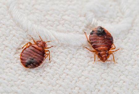 come vengono le cimici da letto cimici in casa da dove vengono e come liberarsene