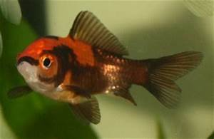 The gallery for --> Black And Orange Comet Goldfish