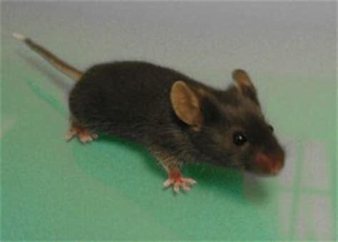 souris dans la maison exterminateur souris d 233 ratisation sous 24h garantie