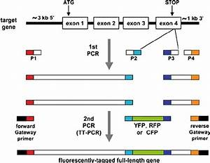 Schematic Of The Ttpcr Method That Is Used To Tag Genes