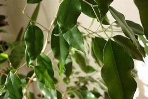Plantes Vertes D Intérieur Photos : nettoyer les plantes vertes d int rieur ~ Preciouscoupons.com Idées de Décoration