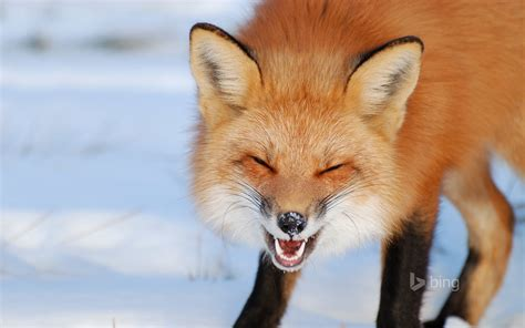 Laughing Fox Hd Wallpaper Background Image 1920x1200 Id555756 Wallpaper Abyss